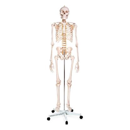 آناتومی اسکلت انسان مدل XC101
